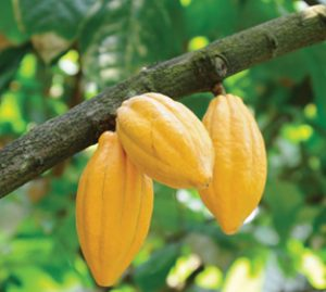 food-thoughts-yellow-cocoa-pods