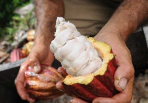 food-thoughts-cocoa-cacao-pods